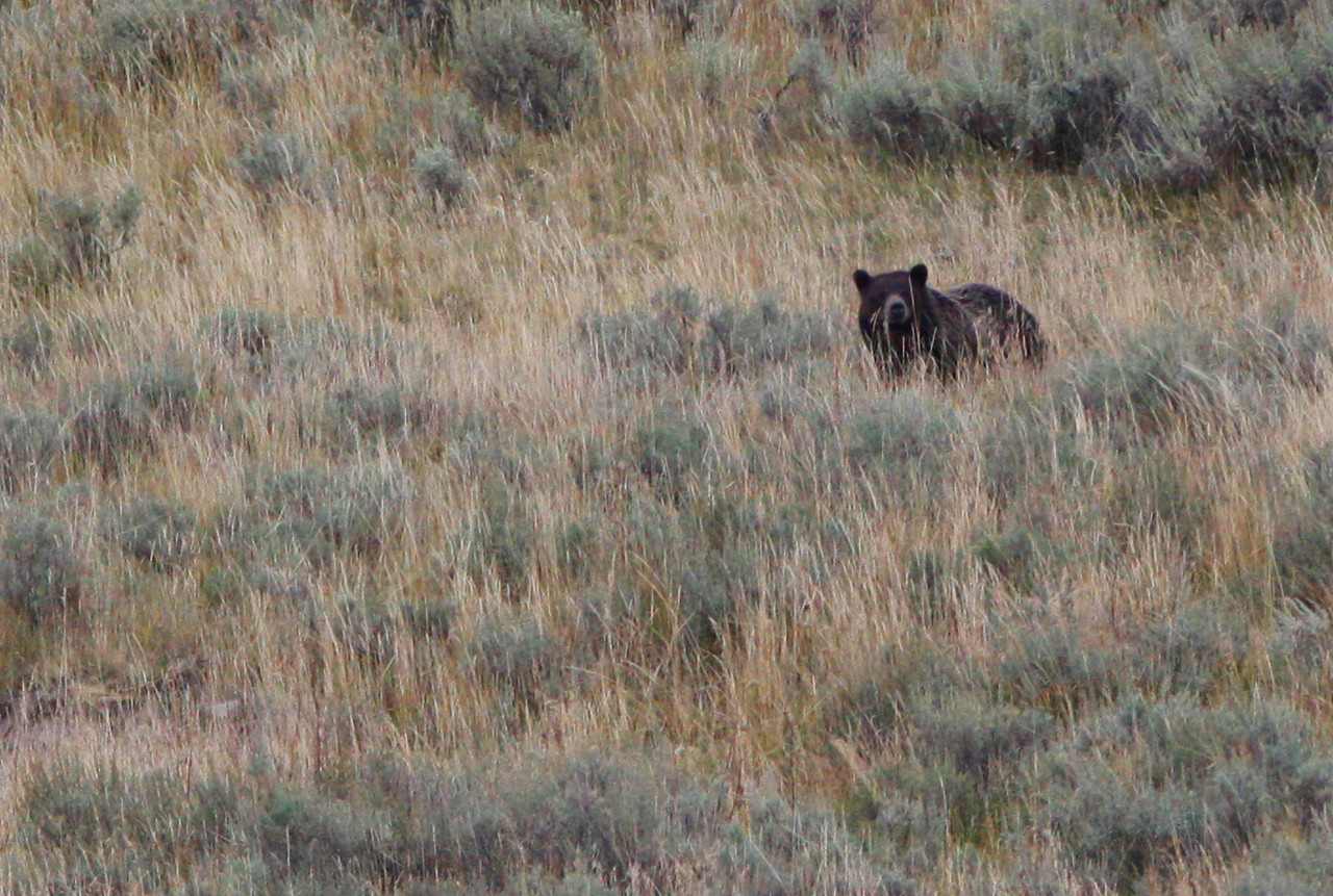 Grizzly - Hayden Valley, Yellowstone National Park