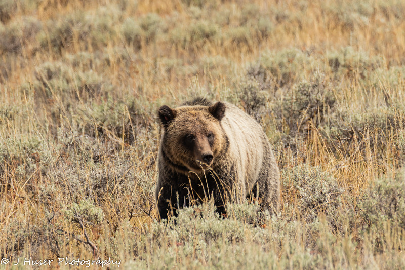 Grizzly bear facing the camera