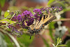 Butterfly Hanging on Butterfly Bush