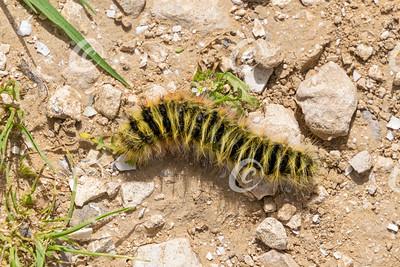 Yellow and Black Hairy Caterpillar