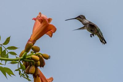 Ruby-Throated Hummingbird 7/23/18