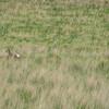 Bounding Antelope Fawn