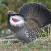 Male Dusky Grouse Displaying