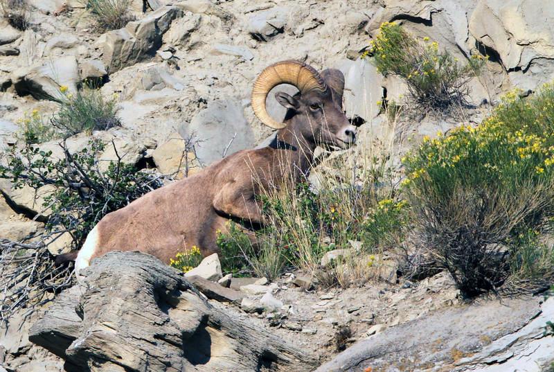 Big Horn Sheep - Yellowstone National Park