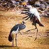 East African Crowned Cranes