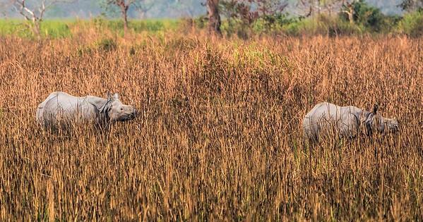 Rhinos in the grass