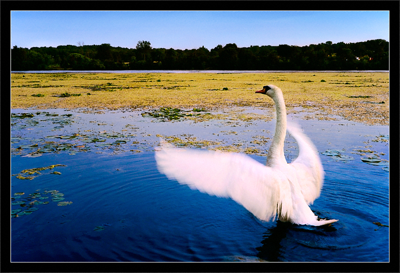 Swan Stretch  A swan streches its wings among the lilly pads in the Huron River  Gallup Park Ann Arbor, Michigan  24-JUL-2007