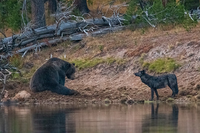 A Raw Encounter, Yellowstone NP