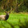 "A bull elk rests in a field in the Hoh Rain Forest in Olympic National Park in Washington. <br /> <br /> Photo by Kyle Spradley | © Kyle Spradley Photography |  <a href=""http://www.kspradleyphoto.com"">http://www.kspradleyphoto.com</a>"