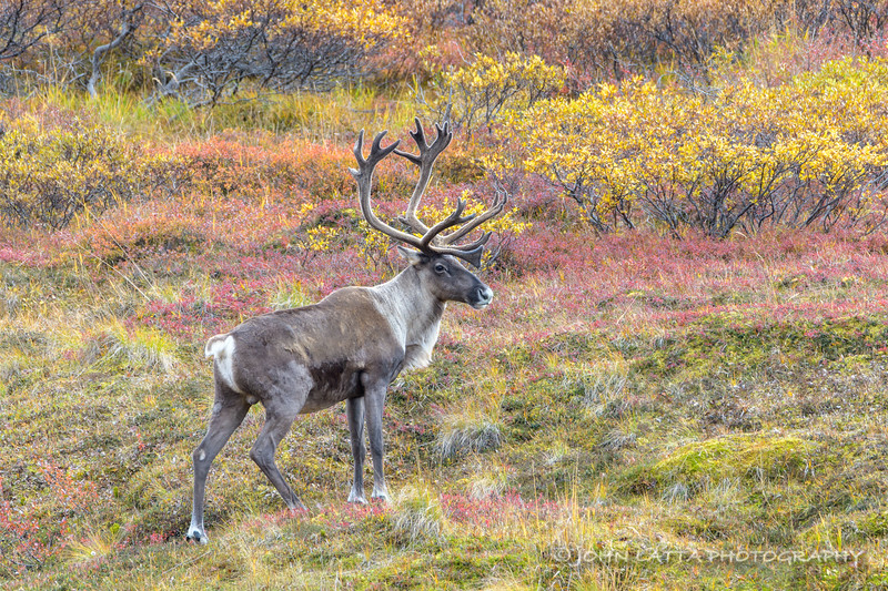 Male Caribou and Autumn Colors