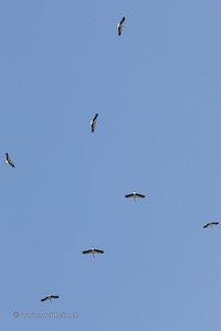 Storks in the air