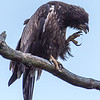Juvenile Bald Eagle 6/28/16