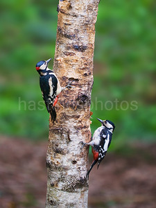 A pair of greater Spotted Woodpeckers