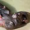 Mother Hippopotamus and her newborn calf, smiling