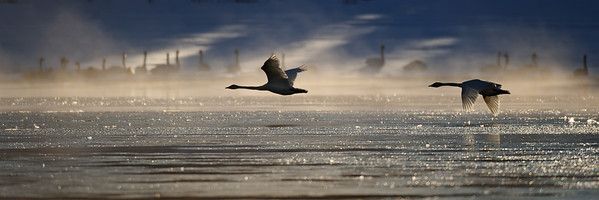 Trumpeter Swan (Cygnus Buccinator) in flight near Swan Haven, Yukon Territory.