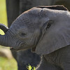 Baby Elephant at Amobseli National Park, Kenya, East Africa