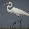 Great Egret 6441