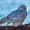 A Snowy Owl Perched On A Guard Rail 12/8/20