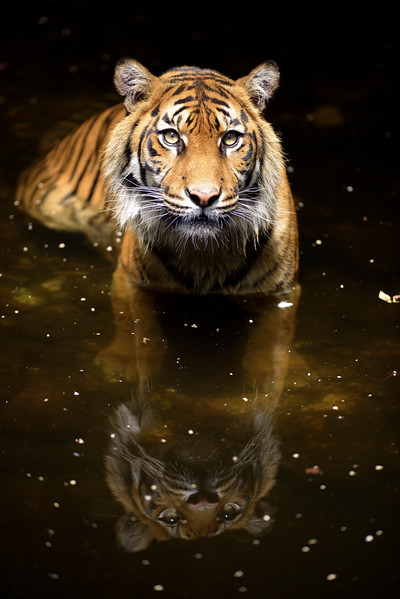 Tiger Wading In Water With Reflection