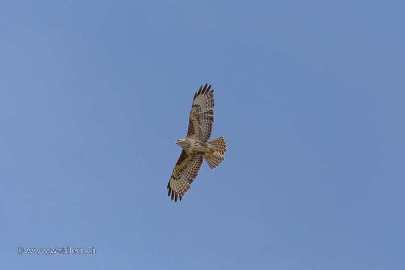 Common Buzzard  - Mäusebussard