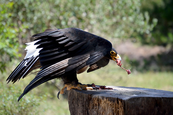 African black eagle at lunch time