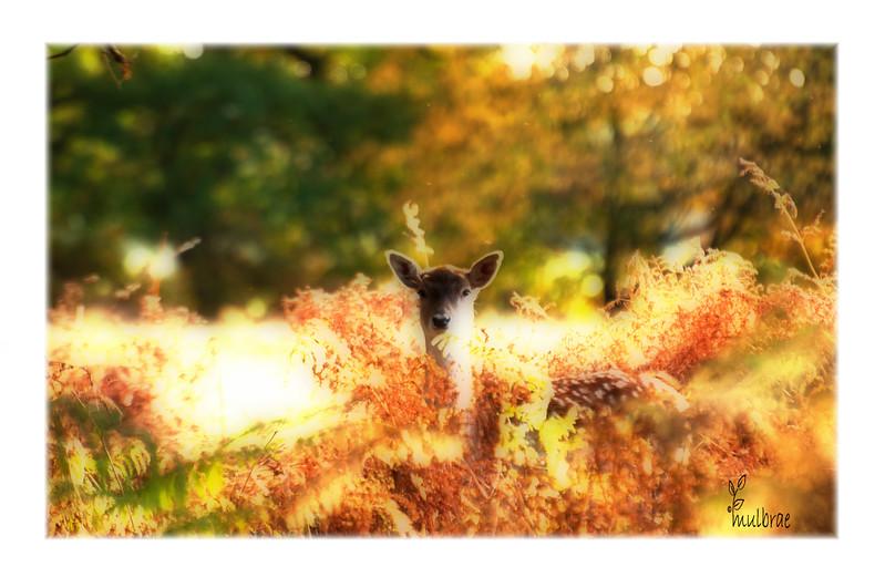 Fallow Deer, Dunham Massey - Irene Froy Style