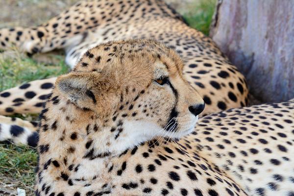 Cheetah taking it easy