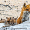Red Fox Kits & Mama 4/19/21