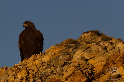 Golden Eagle (Aquila chrysaetos) scouting for breakfast shortly after sunrise in Denali NP.