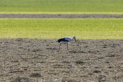 Stork walking through hay