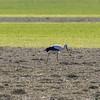 Stork walking through hay