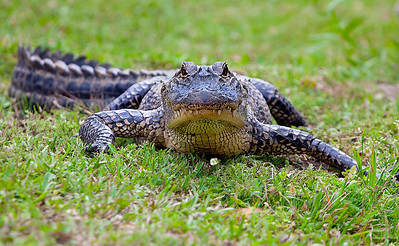 Wild New Orleans Alligator