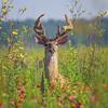 Large Male Deer