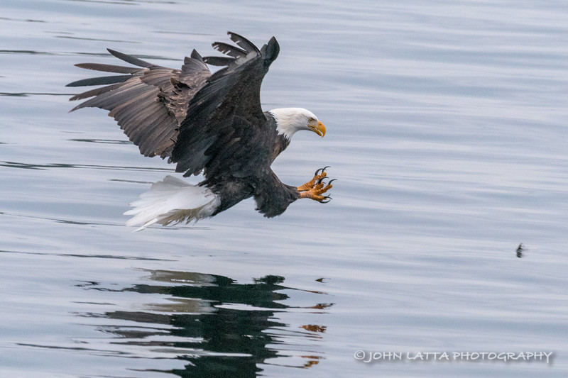 Bald Eagle About to Catch a Kokanee Salmon