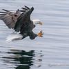 Bald Eagle About to Catch a Kokanee Salmon