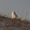 A Snowy Owl In The Dunes 12/31/18