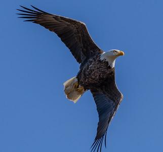 Bald Eagle in Flight 2/25/19