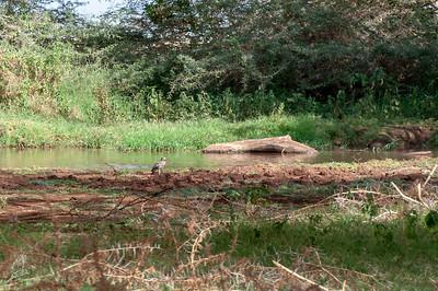 Burhinus vermiculatus