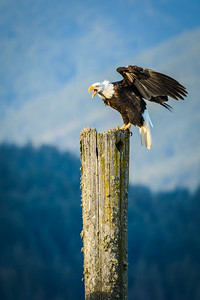 Harrison Bald Eagle 1