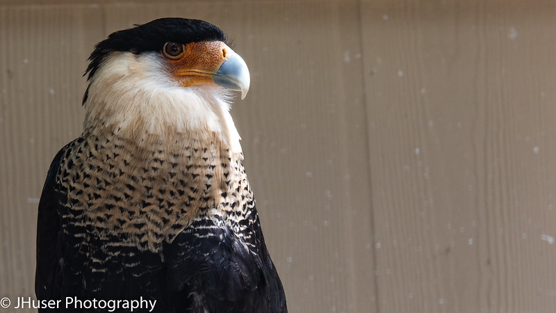 Crested Caracara looking right