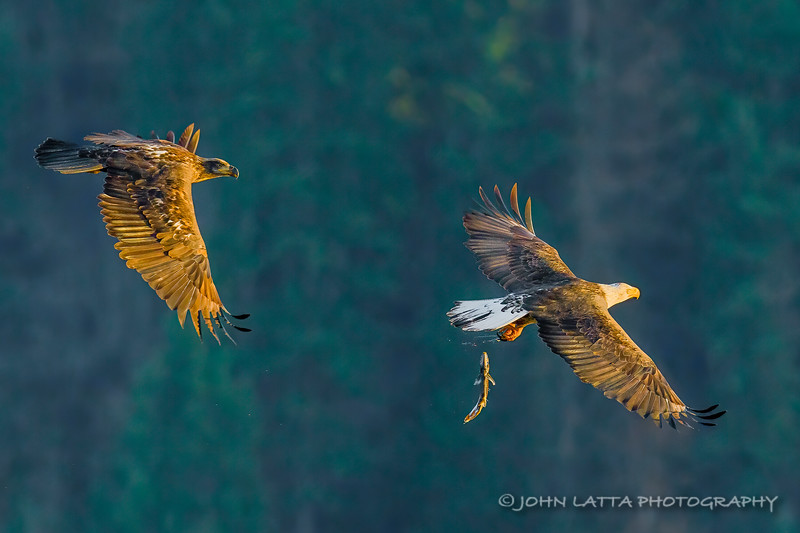 Adult Bald Eagle Drops Kokanee While Chased by Juvenille