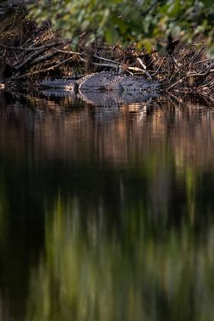 The Urban Crocodile
