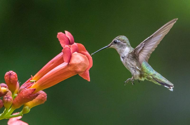 Ruby-Throated Hummingbird on Flower 8/18/16