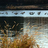 136 - Canada Geese, Cottonwood Lake