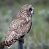 Short Eared Owl 0242