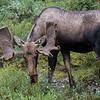 413 - Denali Moose
