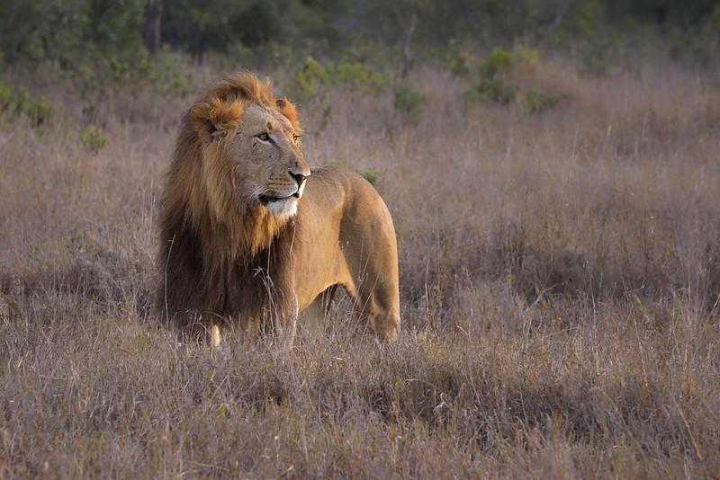 Male Lion at Sunrise, Ol Pejeta Conservancy, Kenya, East Africa