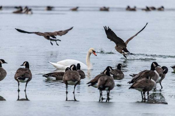 Swans and Geese