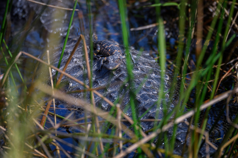 Baby alligator resting on its mother's back, Everglades National Park, Florida