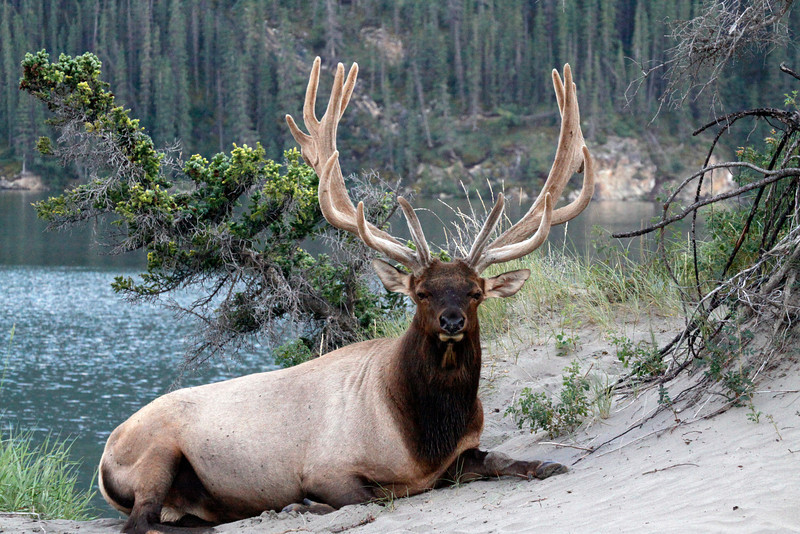 Elk | Bull Elk 16 Point Rack - Jasper National Park